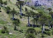 Wanderweg zum Mirador Sierra Nevada - durch Araukarien-Wald