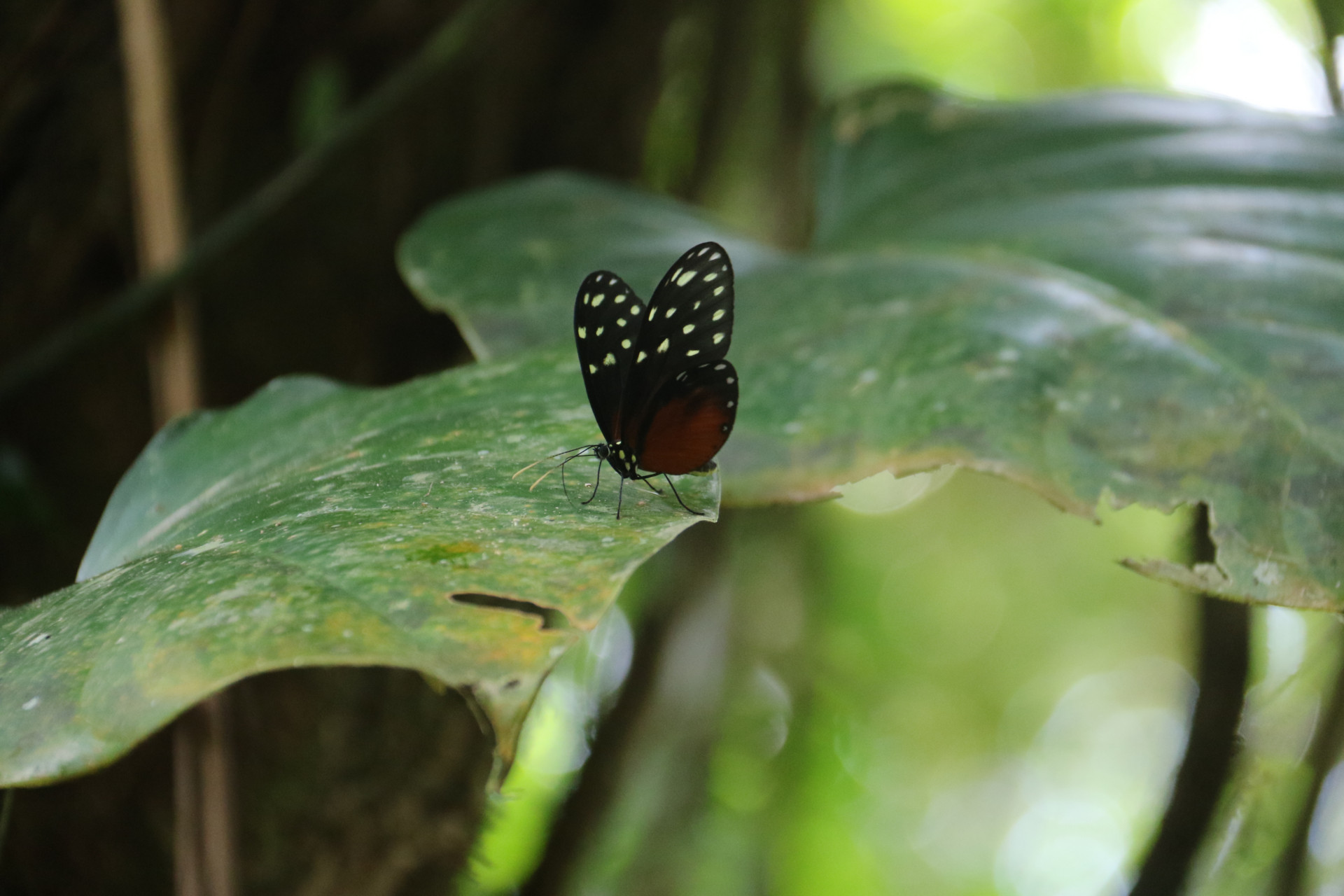 Arenal National Park: Schmetterling