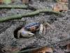 Parque Nacional Cahuita: Kleine Krebse an ihren Höhlen in Strand-Nähe