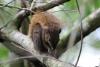 Parque Nacional Cahuita: Eichhörnchen
