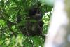 Parque Nacional Cahuita: Faultier