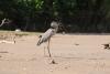 Weg nach Tortuguero, auf dem Fluß, Vogel mit Mittagessen