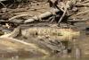 Weg nach Tortuguero, auf dem Fluß, Krokodil