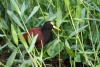 Tortuguero Kanu-Tour: Vogel such Futter am Ufer