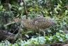 Tortuguero Kanu-Tour: Vogel auf Futter-Suche