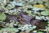 Tortuguero Kanu-Tour: Krokodil, versteckt im Ufer-Bereich