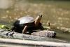 Tortuguero Kanu-Tour: Schildkröte beim Aufwärmen in der Sonne