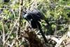 Tortuguero Kanu-Tour: Kormoran beim Trocknen