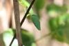 Wanderung im Tortoguero Nationalpark: grüne Gift-Schlange