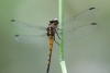 Wanderung im Tortoguero Nationalpark: Libelle