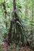 Tirimbina Rainforest Center, ein wandernder Baum, ja wirklich ... 2-3cm pro Jahr!