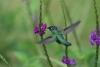 Arenal: Kolibris am Morgen, direkt unterhalb der Zimmer