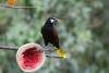 Arenal: Vögel (hier Oropendula) direkt am Restaurant der Lodge, durch Früchte angelockt