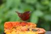 Arenal: Vögel direkt am Restaurant der Lodge, durch Früchte angelockt