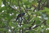 Arenal: Wanderung an der Lodge, Trogon, seltener Vogel