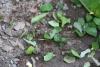 Arenal National Park: Blattschneider Ameisen