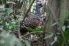 Arenal National Park: Auerhühner?