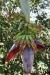 Kaffee Plantage Don Juan - Kospende Bananen-Staude