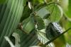 Reserva Monteverde: Raupe nagt an _Blatt