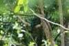 Reserva Monteverde: Quetzal - das Weibchen
