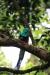 Reserva Monteverde: Quetzal - das Männchen