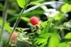Reserva Monteverde: wilde Himbeeren