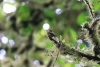Reserva Monteverde: kleiner Vogel