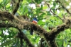 Reserva Monteverde: Ein Trogon (?)