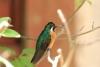 Reserva Monteverde: Sitzender Kolibri, in der Nähe der Futterstelle