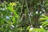 Reserva Cabo Blanco: Kaputziner-Affe