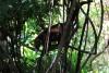 Reserva Cabo Blanco: Waschbär klettert aus einem Baum herunter