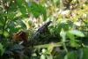 Reserva Cabo Blanco: imposante Echse