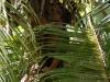 Ausflug ans Meer bei Baracoa, Kokosnüsse ernten
