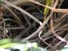 Ausflug ans Meer bei Baracoa, Schlange verschluckt Echse