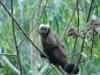 Brauner Kapuziner-Affe