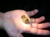 Nachtwanderng: kleiner Frosch (man sollte ja nichts anfassen, aber Arto kennt sich aus)
