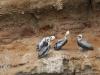 Die ersten Vögel auf dem Weg zu den Islas Ballestas