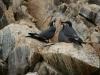 Islas Ballestas, Vogelparadies