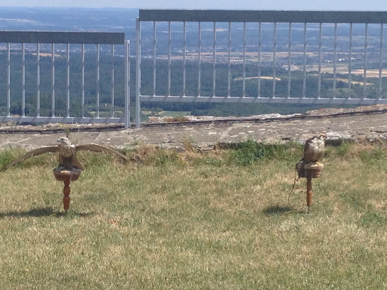 Falken auf dem Hohen Neuffen