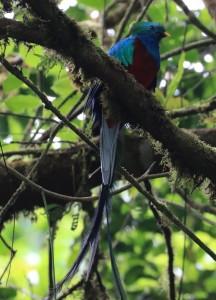 Quetzal (Männchen)