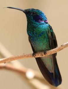 Kolibri, ca. 5-6cm lang